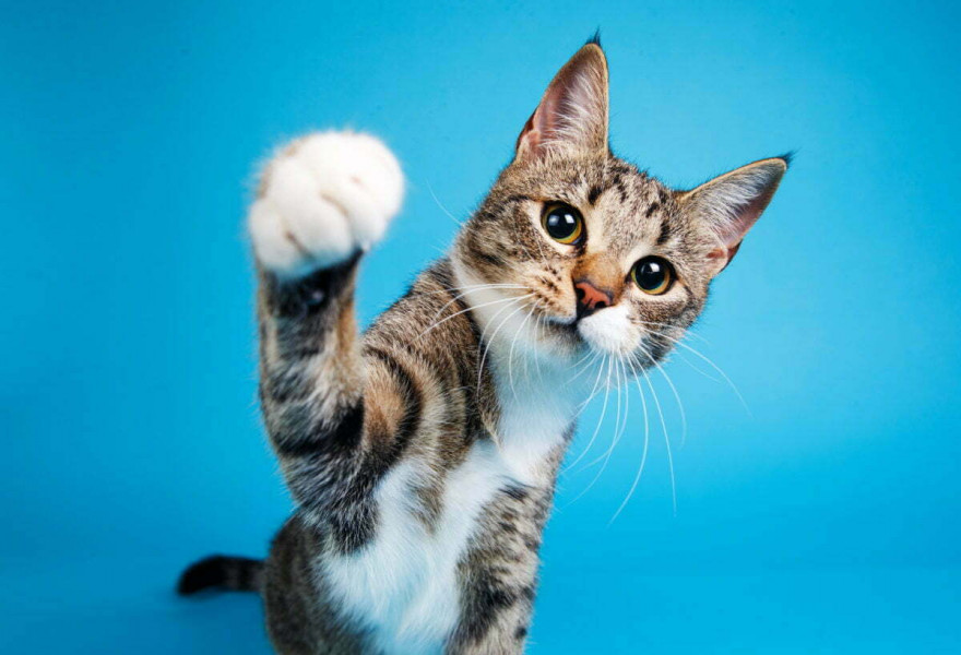 The Process of Declawing Your Cat, Pros and Cons