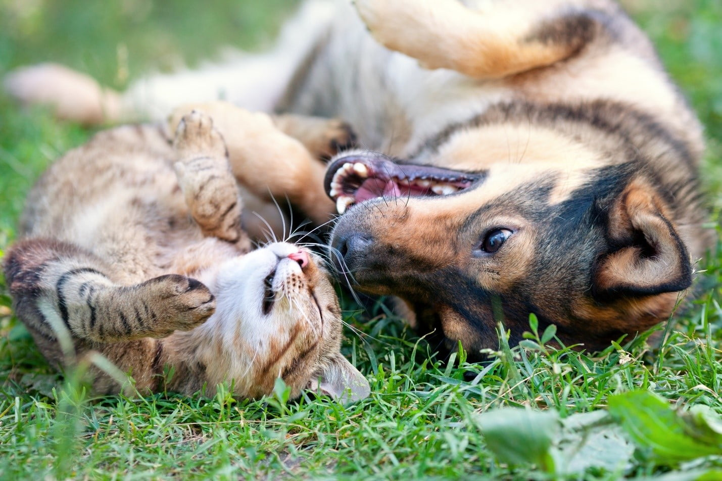cat and dog playing in spring grass, healthy and smiling