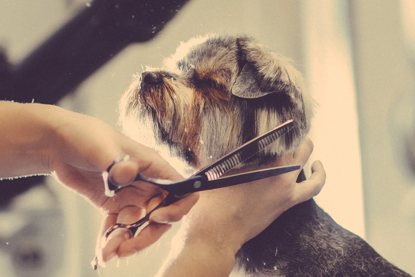 dog with eyes closes, being groomed, great cut