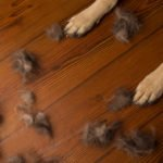 Dog paws and clumps of hair on wood floor