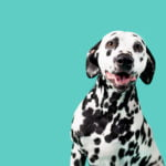 Dalmatian sits in front of a bright teal background