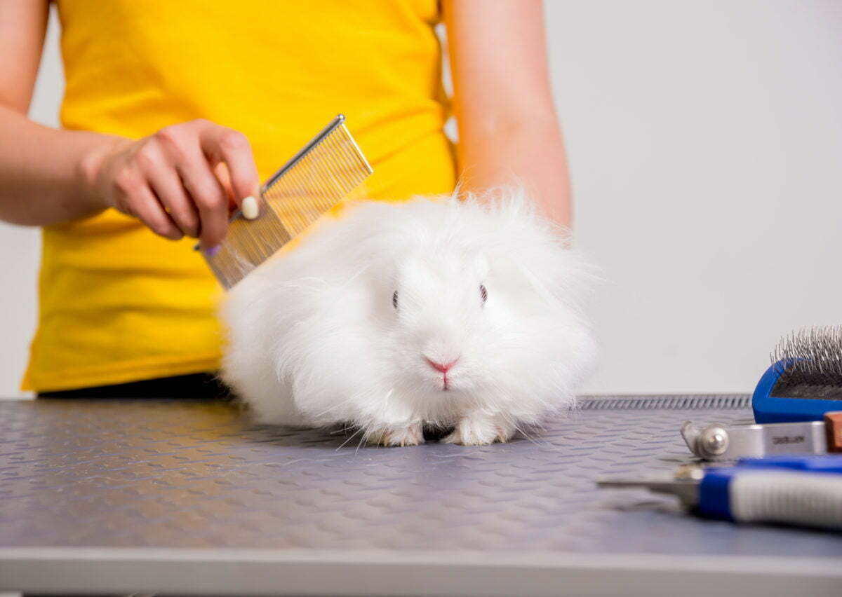 Professional cares for a rabbit in a specialized salon. Groomers holding tools at the hands. White background